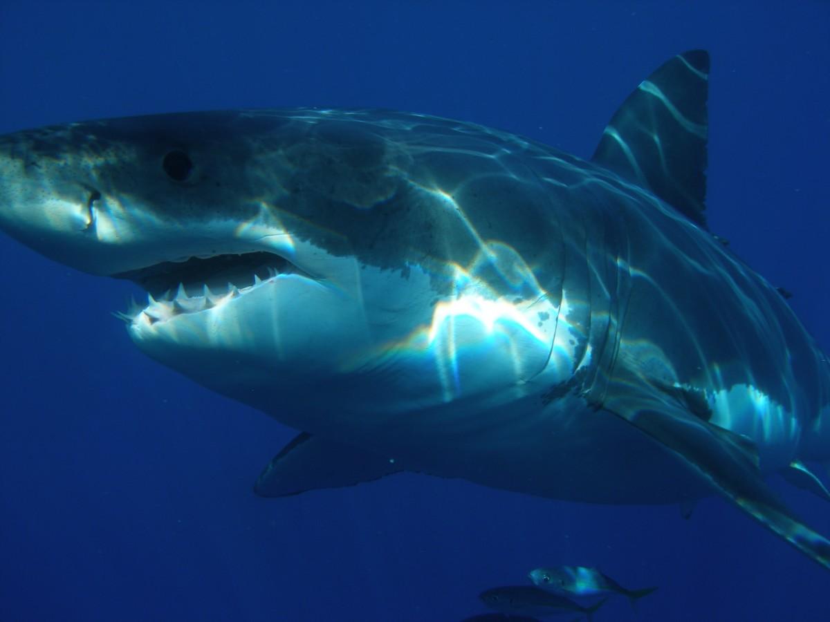 酸掉了牙齿 二氧化碳威胁鲨鱼生存