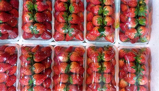 如何盘活草莓滞销产业? 冷链装备实现产业上行